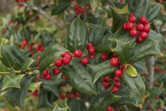 Lush foliage and red berries of Ilex aquifolium. Ilex aquifolium shrub with red fruit royalty free stock images