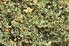 Ilex aquifolium & x27; Variegata& x27; , Santo inglese variegato fotografia stock libera da diritti