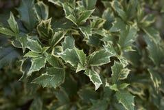 Ilex aquifolium variegated leaves stock photography