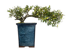 Ilex bonsai tree, isolated Royalty Free Stock Photography
