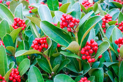 Ilex canariensis berries Aquifoliaceae family. In Singaporean gardens royalty free stock images
