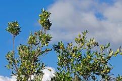 Ilex del quercus, la quercia di leccio o quercia dell'agrifoglio Fotografia Stock Libera da Diritti