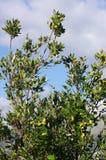Ilex del quercus, la quercia di leccio o quercia dell'agrifoglio Fotografia Stock
