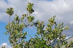 Ilex do Quercus, o carvalho de pequena ilha ou carvalho do azevinho Foto de Stock