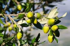 Ilex do Quercus, o carvalho de pequena ilha ou carvalho do azevinho Fotografia de Stock