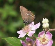Ilex hairstreak butterfly Stock Photo
