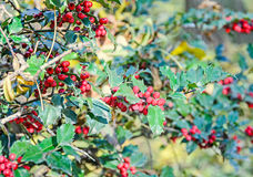 Ilex or holly red fruits, shrub genus in the family Aquifoliaceae.  royalty free stock images