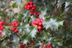 Ilex oder Stechpalme, ist es eine Klasse von kleinen, immergrünen Bäumen mit den glatten, glabrous oder geschlechtsreifen branchl Lizenzfreies Stockbild