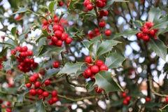 Ilex, ou azevinho, é um gênero de árvores pequenas, sempre-verdes com os branchlets lisos, glabrous, ou pubescent As plantas são Imagem de Stock Royalty Free