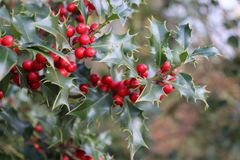 Ilex, ou azevinho, é um gênero de árvores pequenas, sempre-verdes com os branchlets lisos, glabrous, ou pubescent As plantas são Imagem de Stock