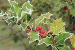 Ilex, Stechpalme im Winter mit Reif und Beeren Stockfotos