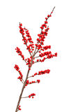 Ilex verticillata or winterberry Stock Images