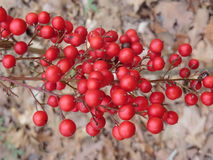 Holly winterberry. Ilex verticlillata or winterberry or holly. Garvan Woodland Gardens, Arkansas royalty free stock image
