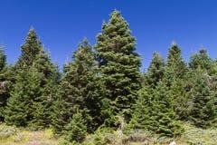 Ilgaz山松森林 库存图片