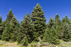 Ilgaz Mountain Pine Forest Stock Image