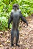 Ilha azul Tanz?nia East Africa de Sykes Monkey Jozani Unguja Zanzibar imagens de stock royalty free