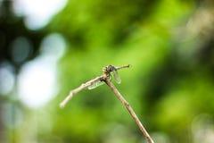 Ilha da libélula na parte superior da árvore a descansar da caça fotos de stock royalty free