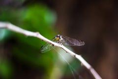 Ilha da libélula na parte superior da árvore a descansar da caça fotos de stock