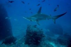 Ilha de cocos do tubarão de Hammerhead fotos de stock