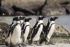 Ilha do pinguim de Cape Town em África do Sul Foto de Stock