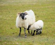Ilha dos carneiros da cara preta da mãe e do bebê Mull Escócia Reino Unido com chifres e pés brancos e pretos Fotografia de Stock