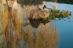 Ilha no lago entre a reflexão do salgueiro weeping Imagem de Stock
