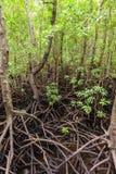 Ilha Tanz?nia East Africa de Unguja Zanzibar da floresta de Jozani dos manguezais imagem de stock