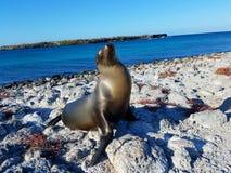 Ilhas Galápagos do leão de mar Imagens de Stock Royalty Free