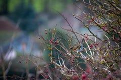 Iliacus del Turdus del tordo sassello su un albero con abbondanza delle bacche rosse fotografie stock