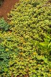 Ilima, the Hawaiian Native Plant Royalty Free Stock Images