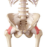 The iliofemoral ligament. Medical accurate illustration of the iliofemoral ligament Stock Images