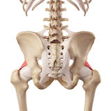The iliofemoral ligament. Medical accurate illustration of the iliofemoral ligament Royalty Free Stock Photos