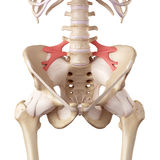 The iliolumbar ligament. Medical accurate illustration of the iliolumbar ligament Royalty Free Stock Photography