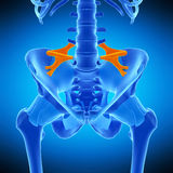 The iliolumbar ligament. Medically accurate illustration of the iliolumbar ligament Royalty Free Stock Photography