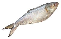 Ilish fish of Southeast Asia Royalty Free Stock Photo
