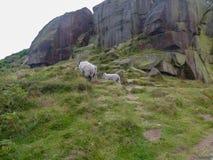 Ilkley attracca le pecore fotografia stock