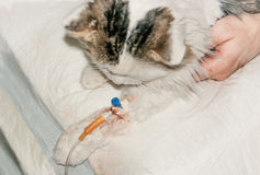 Ill cat in dropper in his paw Stock Photography