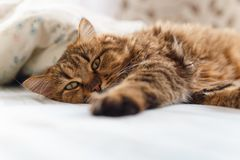 Ill cat lying with high temperature. On the bed stock photography