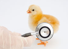 Ill chick of influenza