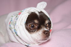Ill chihuahua. In the pink bed Royalty Free Stock Photography