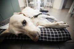 Ill dog royalty free stock photography