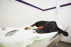 Ill dog in the veterinary clinic Stock Photography
