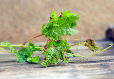 Ill grape Royalty Free Stock Photo