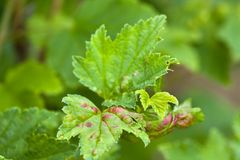 Ill leaves of red currant. Infected by gallic aphids selective focus used stock photo