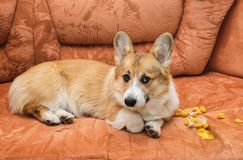 Ill-mannered prankster red dog puppy Corgi with bad behavior lying on the couch and made a hole and tore the upholstery with foam. Ill-mannered prankster dog stock photos