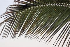 Ill palm tree leaf royalty free stock photography