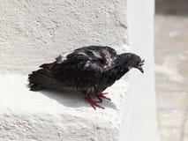 Ill pigeon Royalty Free Stock Photos