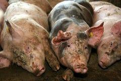 Ill pigs Stock Photo