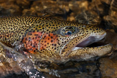 Ill rainbow trout portrait Stock Photos