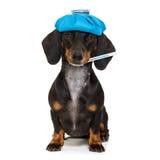 Ill sick dog with illness Stock Photo